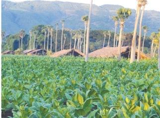 Producción. En Santiago se siembra, cosecha y procesa el 56 por ciento del tabaco utilizado en la elaboración del cigarro.