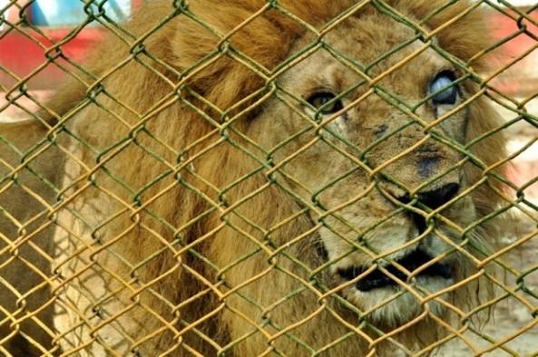 """El """"león tuerto"""" es como le dicen al animal que luce con mal aspecto, maltratado por los años y las malas condiciones en que vive en el zoológico de Moca. (Abel Ureña)"""