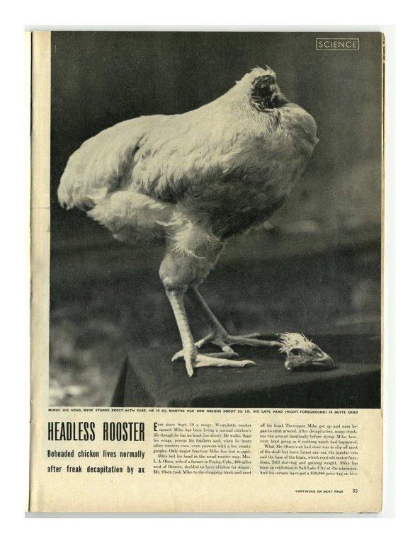 La revista LIFE publicó un reportaje sobre 'Mike, el pollo sin cabeza' (miketheheadlesschicken)