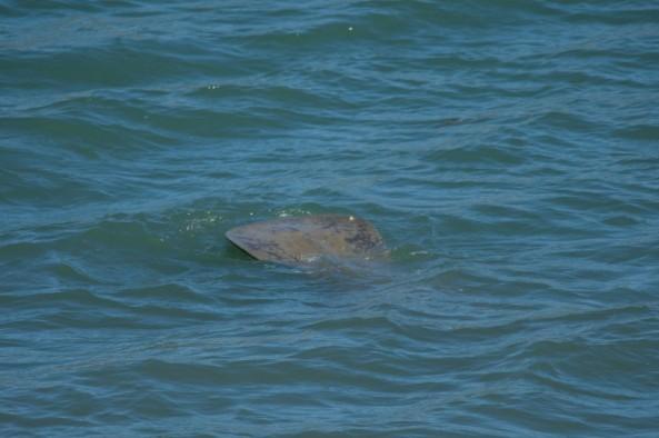 Un manatí muestra su cola mientras se zambulle en Estero Hondo. Foto Marvin del Cid