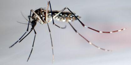 mosquitostransgenicos