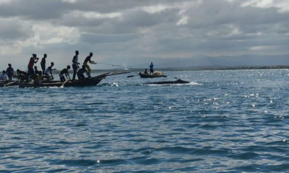 EL fin de semana un grupo de pescadores haitianos tratan de arponear una ballena jorobada en Fort Liberté. Haití. Foto FoProBim