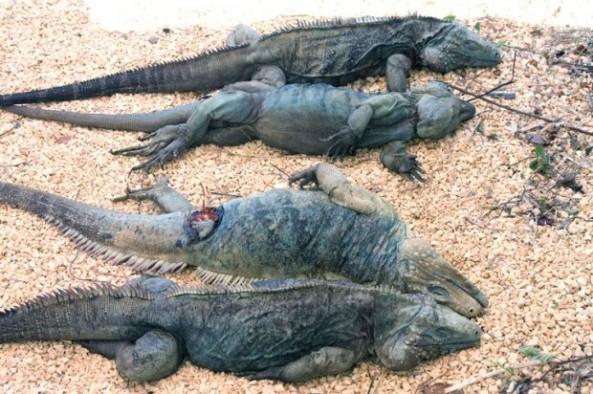 Los animales son cazados con fines de consumo.