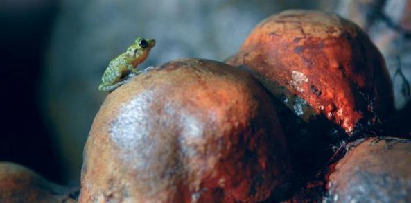 Especie. Mientras se conocía la cueva Cristal, apareció el calcalí , anfibio endémico de la Hispaniola, muy reconocido por su canto. Según el guía turístico, Levi Martínez, es muy difícil de verlo ya que cuando escucha a los visitantes se esconde y no se deja ver.