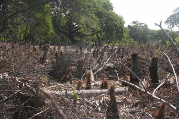 Estas imágenes expresan de forma cruda el crimen ecológico que se comete en el área boscosa de Las Dunas, en Baní.